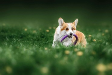 Do Welsh Corgi Have Anxiety or Depression?